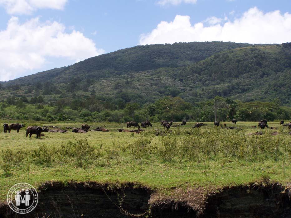 Büffelherde am Fuße des Mount Meru.