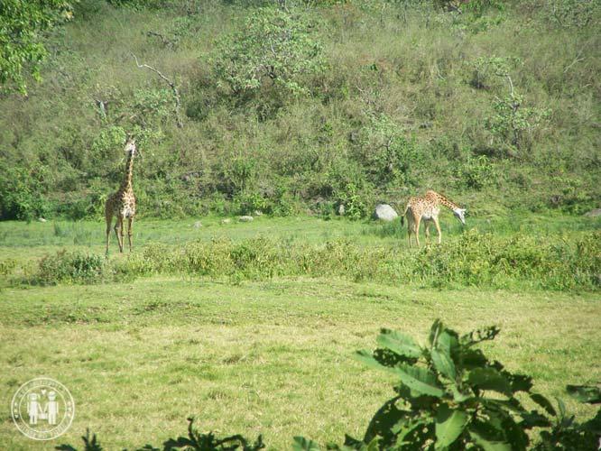 Giraffen am Fuße des Mount Meru.