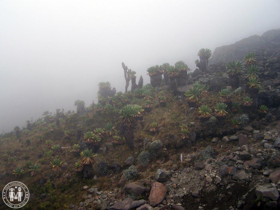 Senezien am Weg zur Barranco Hut am Kilimanjaro.