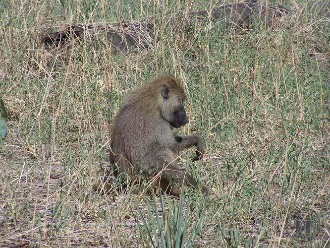 Ein Vervet Affe im Park.