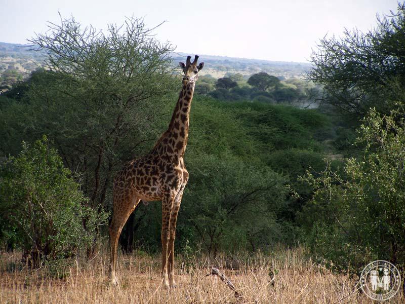 Giraffe im Park.